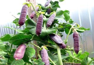 A lila borsó legjobb fajtáinak leírása, jellemzőik és termesztésük