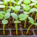 Cómo plantar adecuadamente plántulas de pepino demasiado crecidas en campo abierto o invernadero