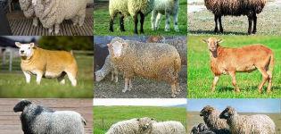 Tipos de clasificación de razas de ovejas, según qué criterios se dividen y descripción