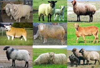 Top 5 pasmina mliječnih ovaca i njihovi glavni pokazatelji, razvoj industrije u Rusiji