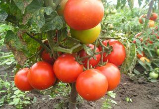 Charakteristika a opis odrody paradajok Fighter (Buyan), jej výnos
