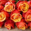 Descripción de una variedad de rosa de té híbrida Brandy Cherry, plantación, cuidado y reproducción.