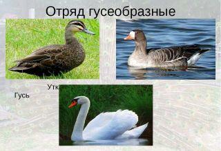 Ako presne sa labute líšia od husí, opisu a vlastností vtákov