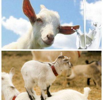 Ce să faci dacă o capră nu permite mulsul și care este motivul, cum să o înveți la muls