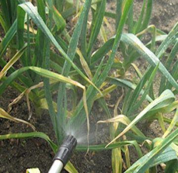 Kako preraditi i nahraniti češnjak s amonijakom?
