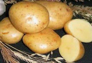 Opis odrody zemiakov Gala, vlastnosti pestovania a starostlivosti