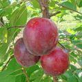 Descrierea soiului de prune de vișine Rose Rose, polenizatori, plantare și îngrijire