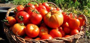 Revizuirea celor mai bune soiuri de roșii pentru regiunea Vitebsk