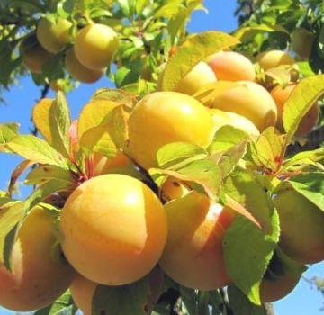 Descrierea celor mai bune soiuri de prune galbene, plantare, creștere și îngrijire