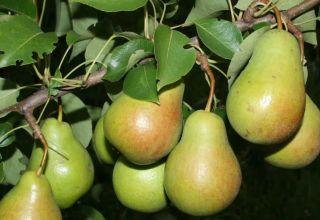 Descripción de las mejores variedades de peras para la región de Moscú, autofértiles, de tamaño insuficiente y resistentes a enfermedades.