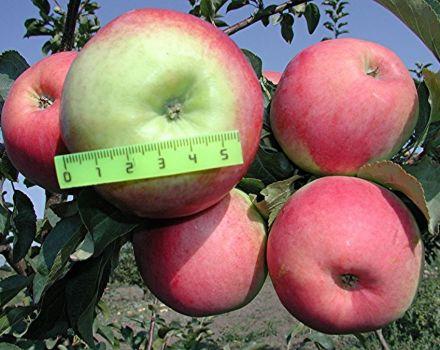 Charakteristiky odrody jabĺk Prima, opis poddruhov, pestovania a úrody