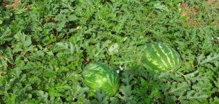 Descrierea soiului de pepene verde și hibrid F1, care sunt diferențele, bolile și dăunătorii plantelor