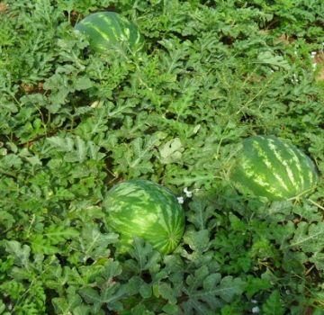 Περιγραφή της ποικιλίας καρπουζιού Ataman και του υβριδίου F1, ποιες είναι οι διαφορές, οι ασθένειες και τα παράσιτα των φυτών