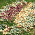 Hogyan és hol jobb szárítani a hagymát a kertből történő betakarítás után