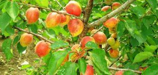 Descripción y características de la variedad de albaricoque Akademik, plantación, cultivo y cuidado.
