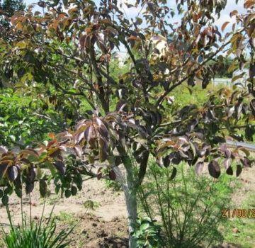 ¿Por qué una plántula de pera crece mal y echa raíces, qué hacer