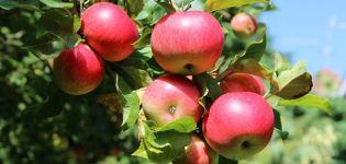 Opis a vlastnosti letnej odrody jabĺk Malt Bagaevsky
