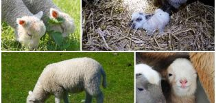 La apariencia y el peso de un cordero recién nacido, qué procedimientos de cuidado se necesitan.