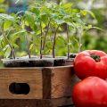 Kedy zasadiť paradajky pre sadenice v roku 2020