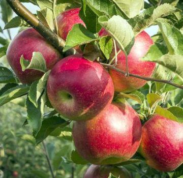 Silver Hoof-omenapuun kuvaus ja ominaisuudet, istutus ja hoito