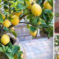 Razones por las que caen las hojas de limón, qué hacer y cómo revivir la planta.