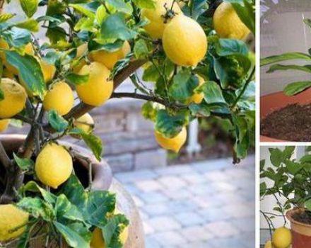 Redenen waarom citroenblaadjes vallen, wat te doen en hoe de plant nieuw leven in te blazen