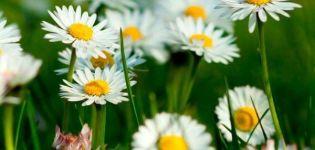 Descrierea speciilor și soiurilor de margarete de grădină, plantare, creștere și îngrijire
