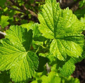 Proprietăți medicinale ale frunzelor de coacăz negru și contraindicații, beneficii și prejudicii