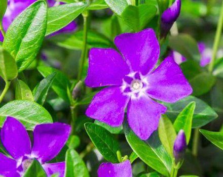 Propiedades medicinales y contraindicaciones del bígaro, aplicación y beneficios de una flor.
