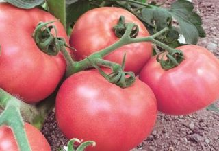 Opis i karakteristike sorte rajčice Pink Lady
