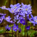 A nemes májfű leírása és jellemzői, az ültetés és a növény gondozása szabályai