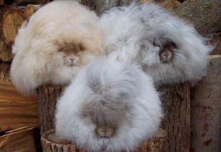 Beschrijving en kenmerken van Angora-konijnen, onderhoudsregels