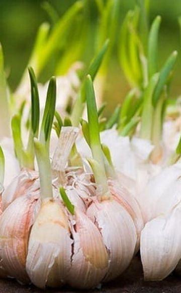 Kako uzgajati i brinuti se za češnjak na otvorenom za dobru žetvu