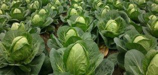 Descrierea soiului de varză Nadezhda, caracteristici de cultivare și îngrijire