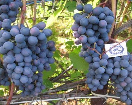 Denisovsky szőlő leírása, ültetési és gondozási szabályok
