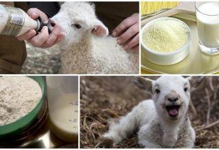 Hogyan kell megfelelően tenyészteni a báránytejport, az arányok és a termelők