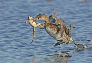 ¿Los patos salvajes comen ranas y se pueden dárselas a las aves de corral, pros y contras?