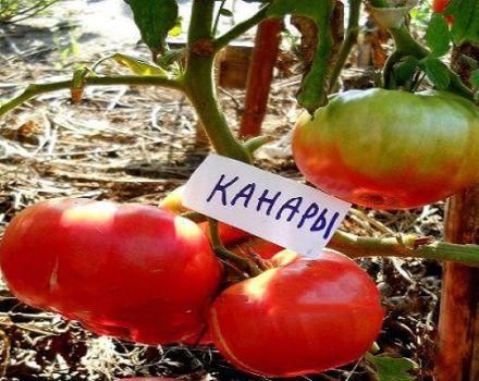 Descripción de la variedad, cultivo y características del tomate canario