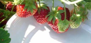 Descrierea și subtilitățile căpșunilor în creștere ale soiului Symphony