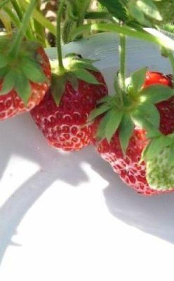 Beschreibung und Feinheiten des Anbaus von Erdbeeren der Sorte Symphony