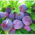 Descrierea soiului de prune Eurasia, cultivare și îngrijire, polenizatori