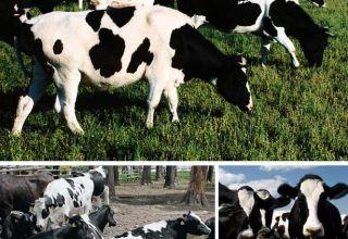 A fajta jelei és a Kholmogory tehenek jellemzői, előnyei és hátrányai