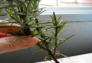 Hoe rozemarijnstekken thuis te vermeerderen en te laten groeien