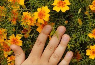 Pravila za uporabu nevena kao zelenog stajskog gnoja i zašto je takvo gnojivo korisno