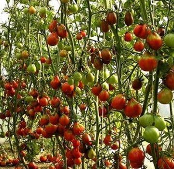 Descrierea soiului de tomate Uscarea, caracteristicile și cultivarea acesteia