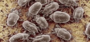 Cauzele și simptomele apariției acarienilor cu pene de pui, cum să scapi