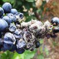 Enfermedades del arándano de jardín y su tratamiento, métodos de control de plagas.