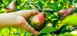 Descripción y características de la variedad de pera Destacado, cultivo y cuidado