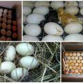 Tabla de incubación de huevos de pato y programa de desarrollo por tiempo en casa