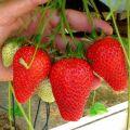 Cele mai bune soiuri de căpșuni remontante, reproducere, cultivare și îngrijire